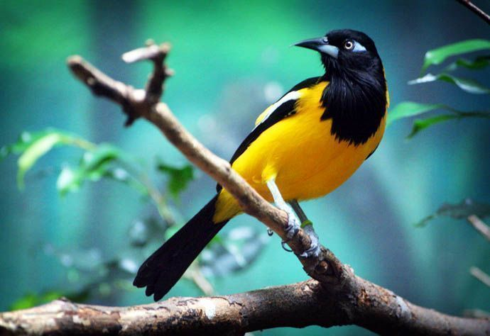 El turpial es el ave nacional de Venezuela