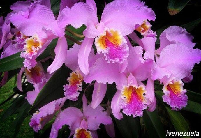 La Orquídea es la flor nacional de Venezuela